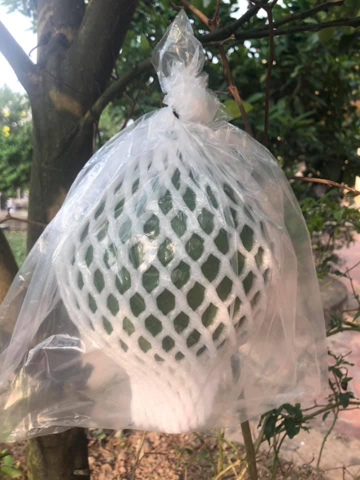 Mút Xốp Bọc Trái Ổi Tại Huyện Giao Thủy -Nam Định